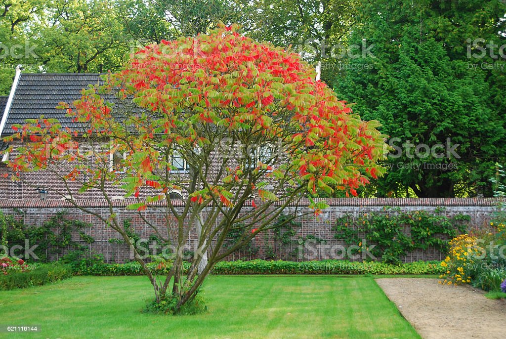 Staghorn sumac with changing Color in autumn season. stock photo