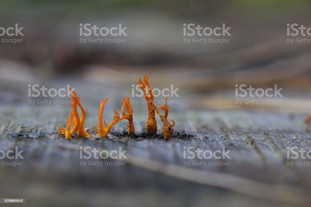 Stagshorn Mushroom stock photo