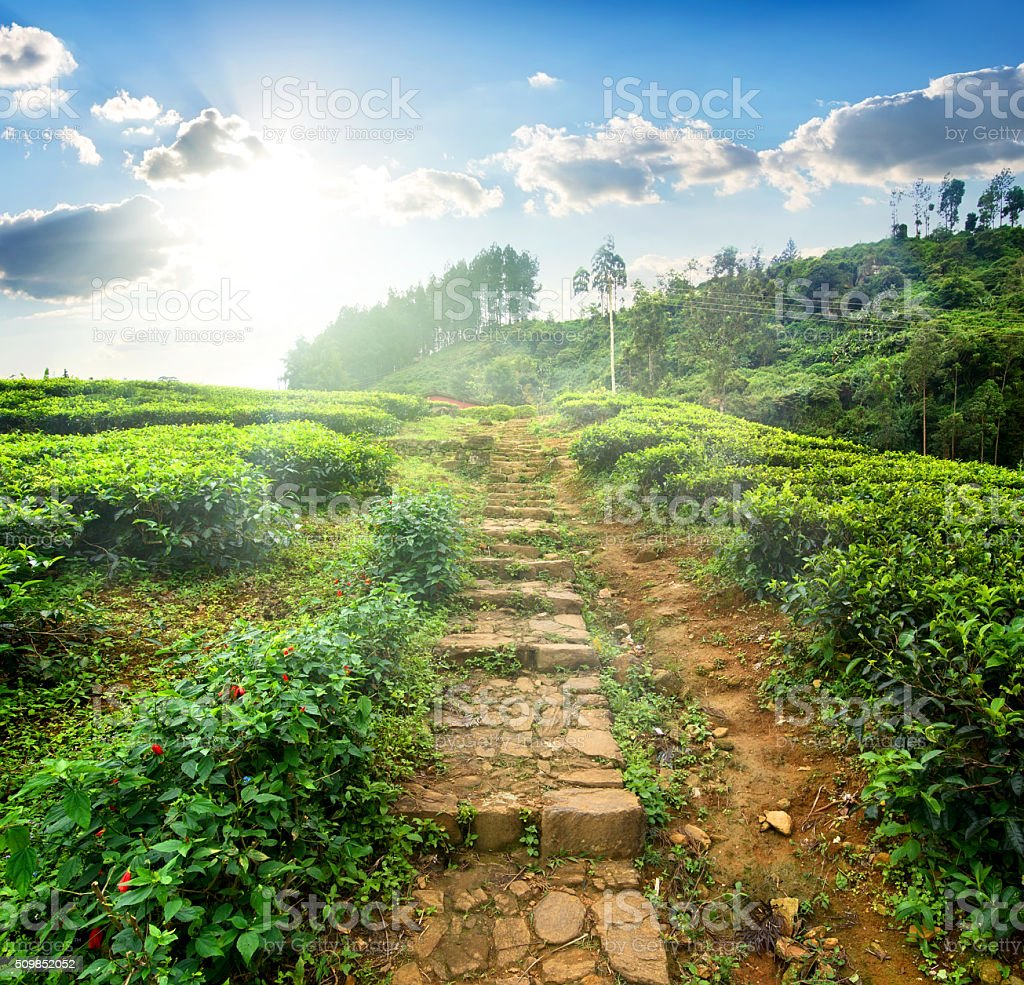 Staircase in tea field stock photo