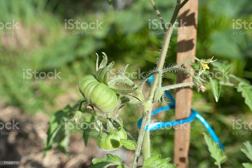 Staked Tomato Plant royalty-free stock photo