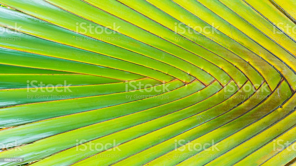 Stalk leaf of bases on a Travelers Palm stock photo