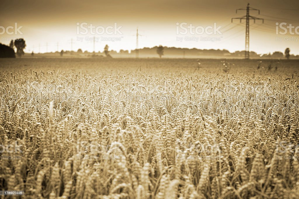 stalk of grain royalty-free stock photo