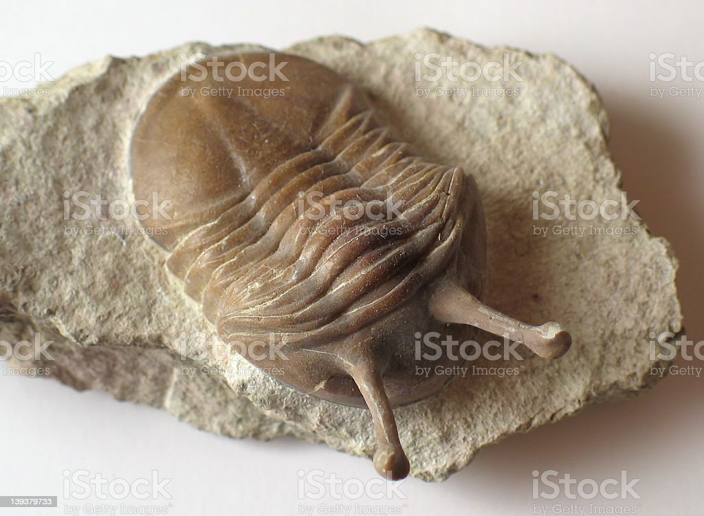 Stalk-eyed Trilobite stock photo