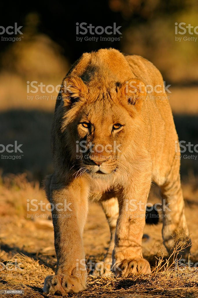 Stalking African lion royalty-free stock photo