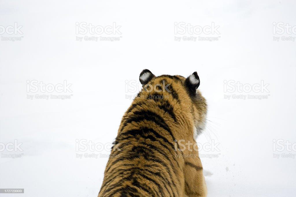 Stalking Amur Tiger. royalty-free stock photo