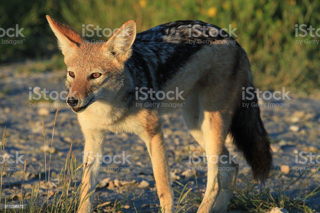 Stalking Black-backed Jackal in Etosha stock photo