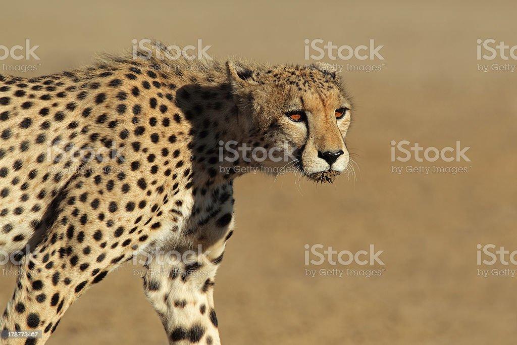 Stalking Cheetah stock photo