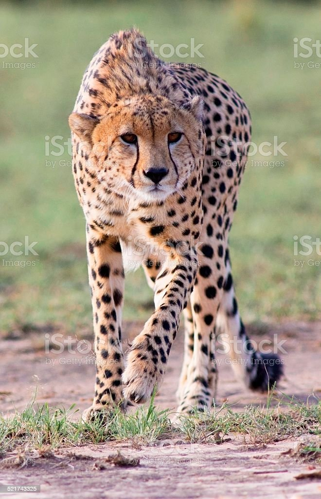 Stalking Cheetah stock photo