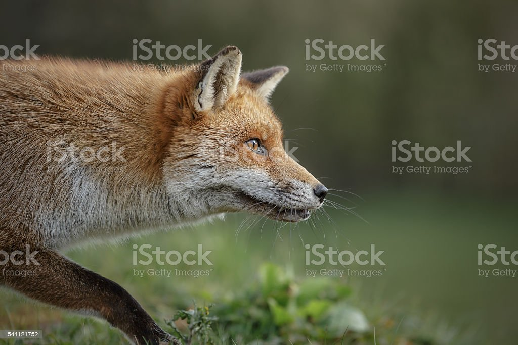 Stalking fox stock photo