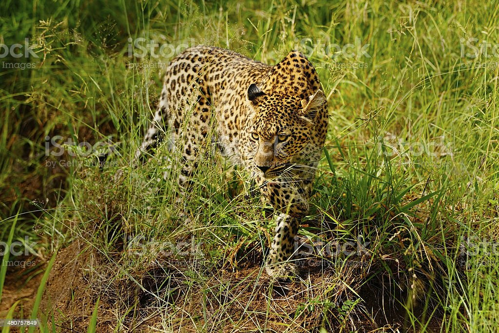 Stalking Leopard stock photo