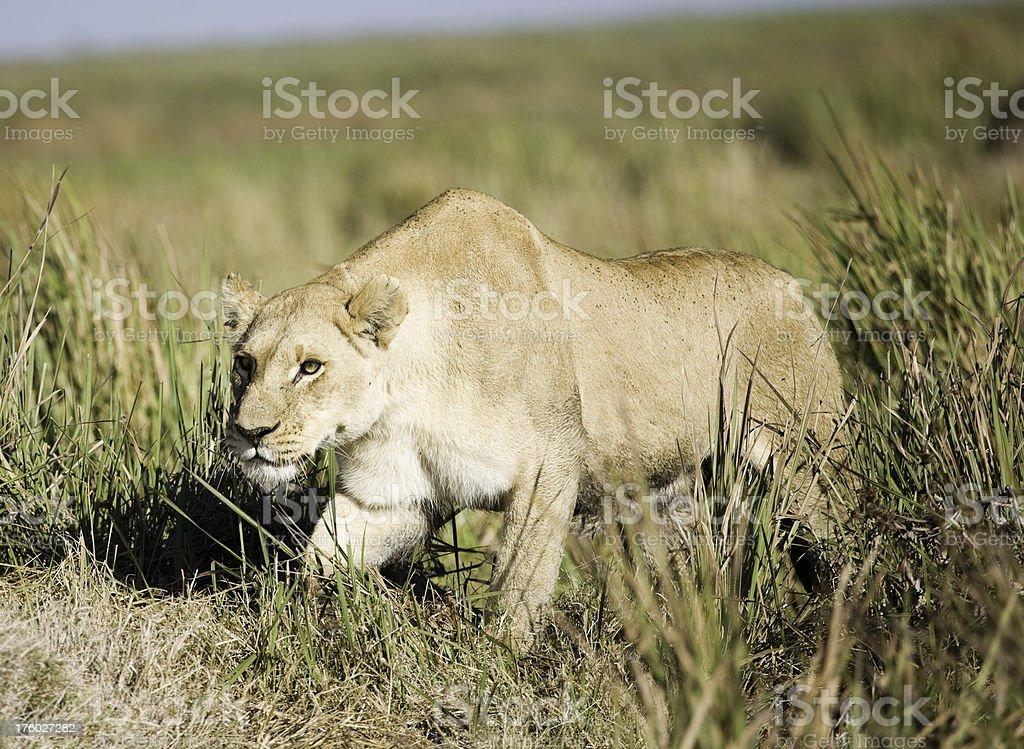 Stalking Lion royalty-free stock photo