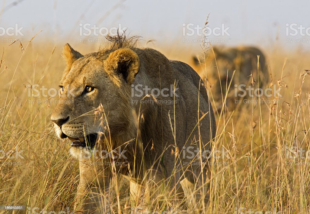 Stalking lions stock photo