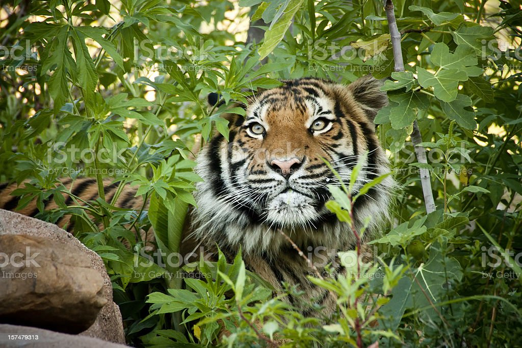Stalking Malayan Tiger peers through the branches royalty-free stock photo