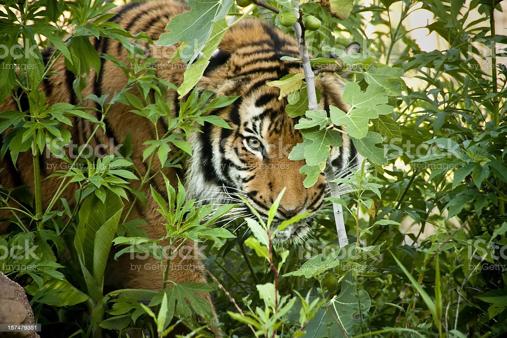 Stalking Malayan Tiger peers through the branches stock photo