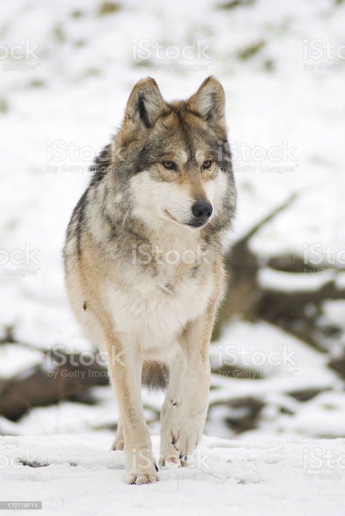 Stalking Mexican Gray Wolf (Canis lupus) stock photo