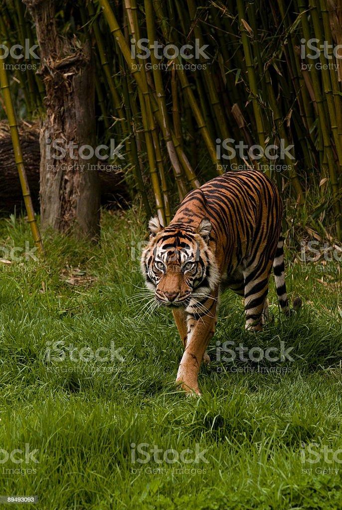 Stalking Sumatran Tiger royalty-free stock photo