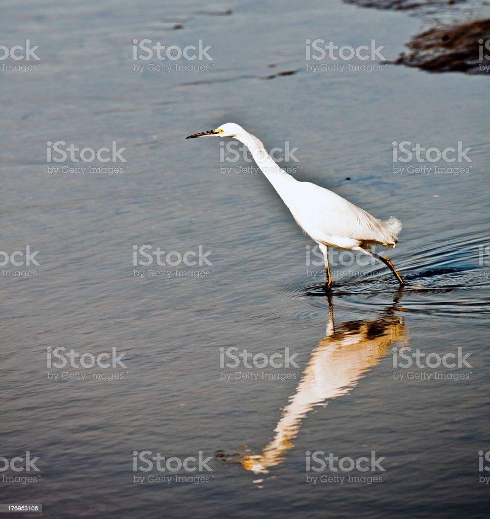 Stalking White Egret stock photo
