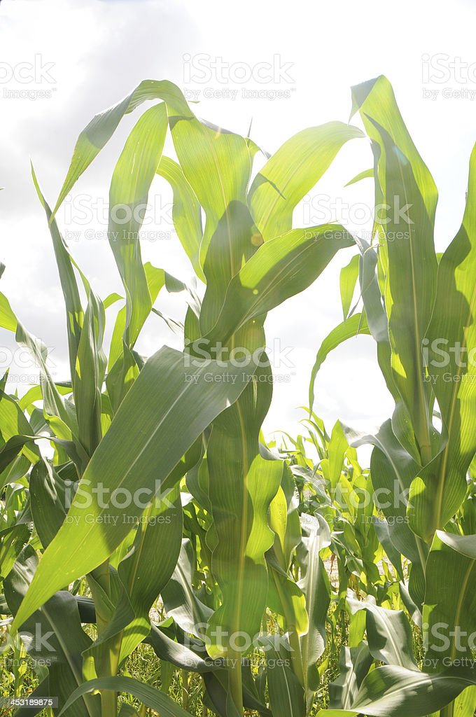Stalks of Corn Growing in Field close up royalty-free stock photo