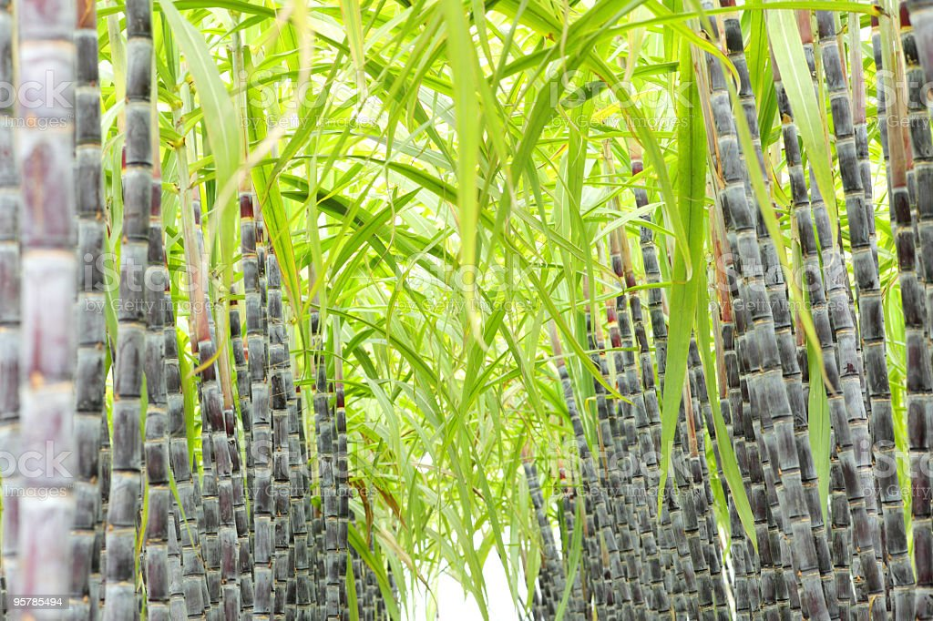 Stalks of sugar cane lined up in rows outside stock photo