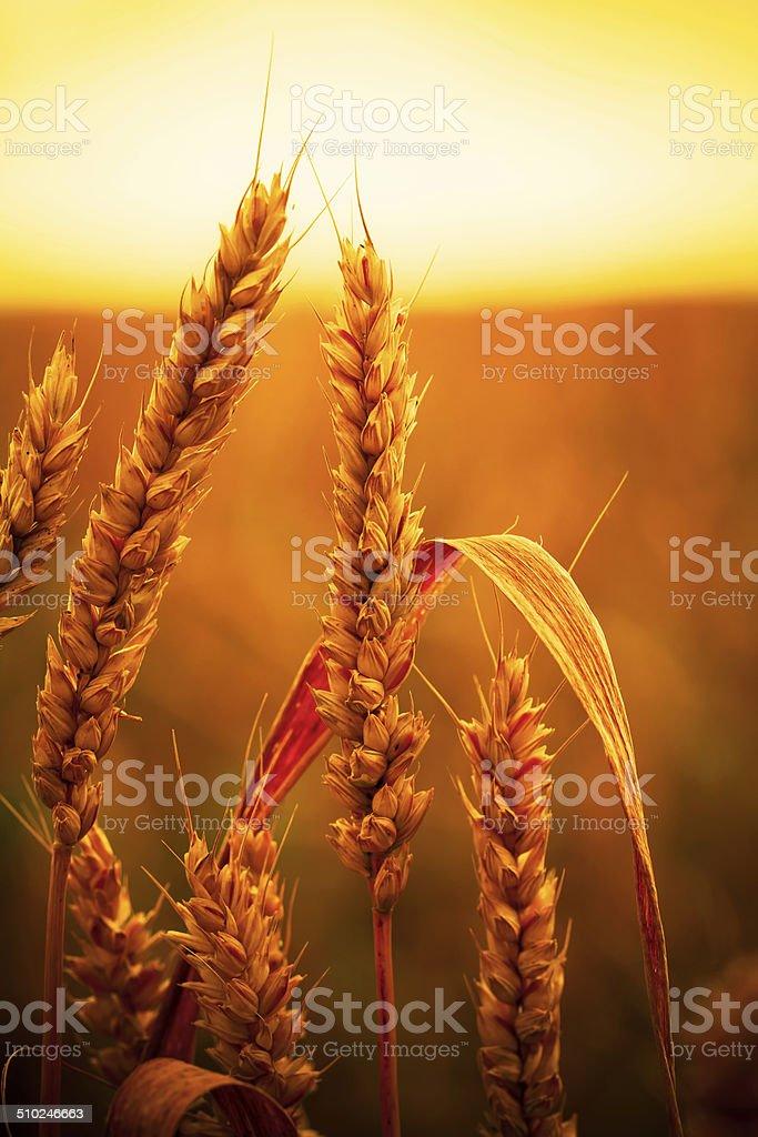 stalks of wheat stock photo