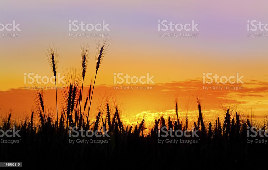 Stalks of wheat silhoutted against a prairie sunset royalty-free stock photo