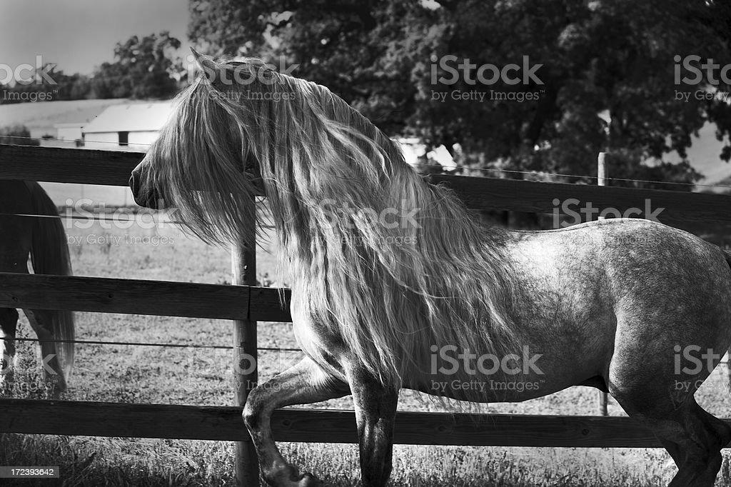 Stallion In BW royalty-free stock photo