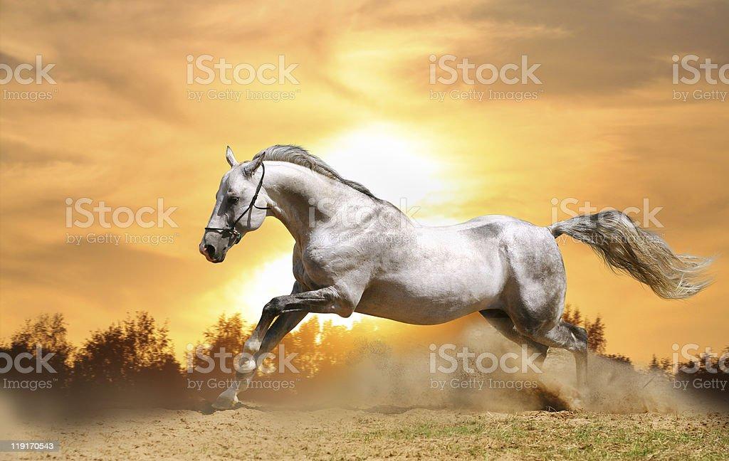 stallion in sunset stock photo