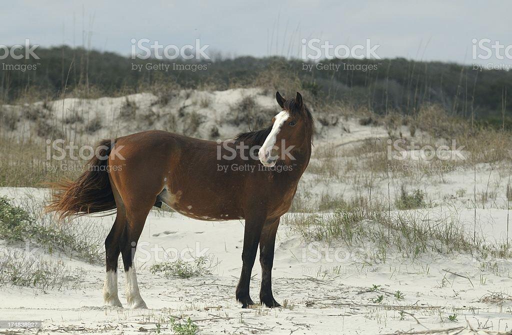 Stallion in the dunes stock photo