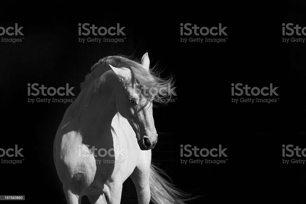 Stallion on Black stock photo