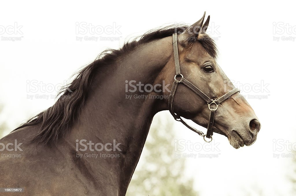 Stallion royalty-free stock photo