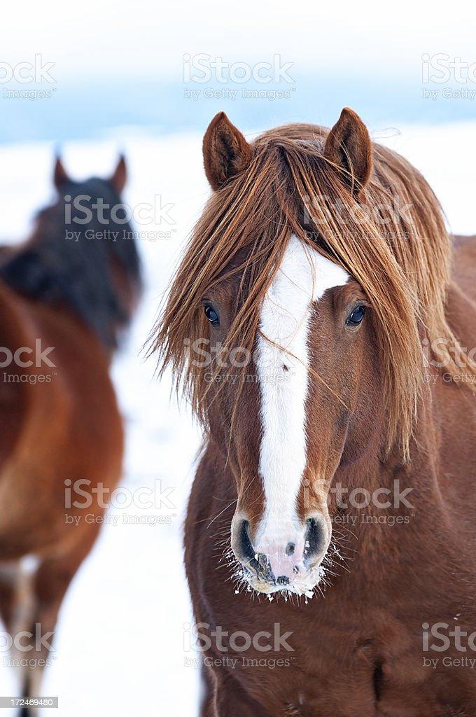 Stallion royalty-free stock photo