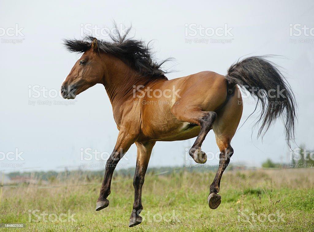 Stallion playing stock photo