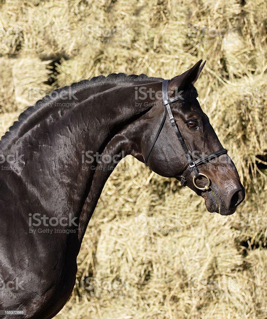 Stallion portrait royalty-free stock photo