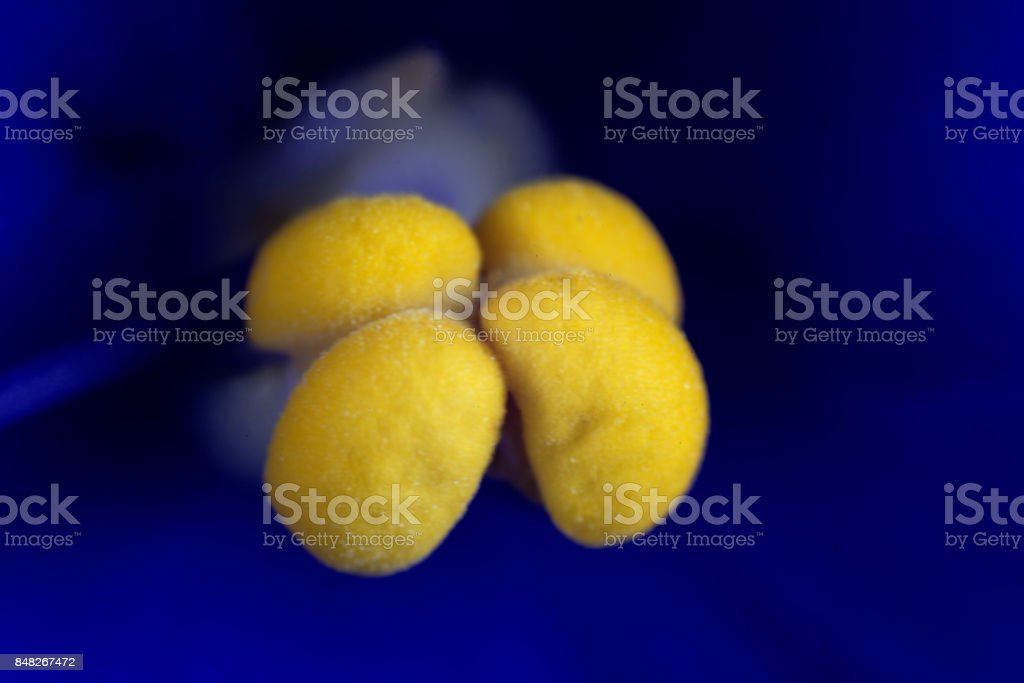 Stamen of an African violet flower (Saintpaulia ionantha) stock photo
