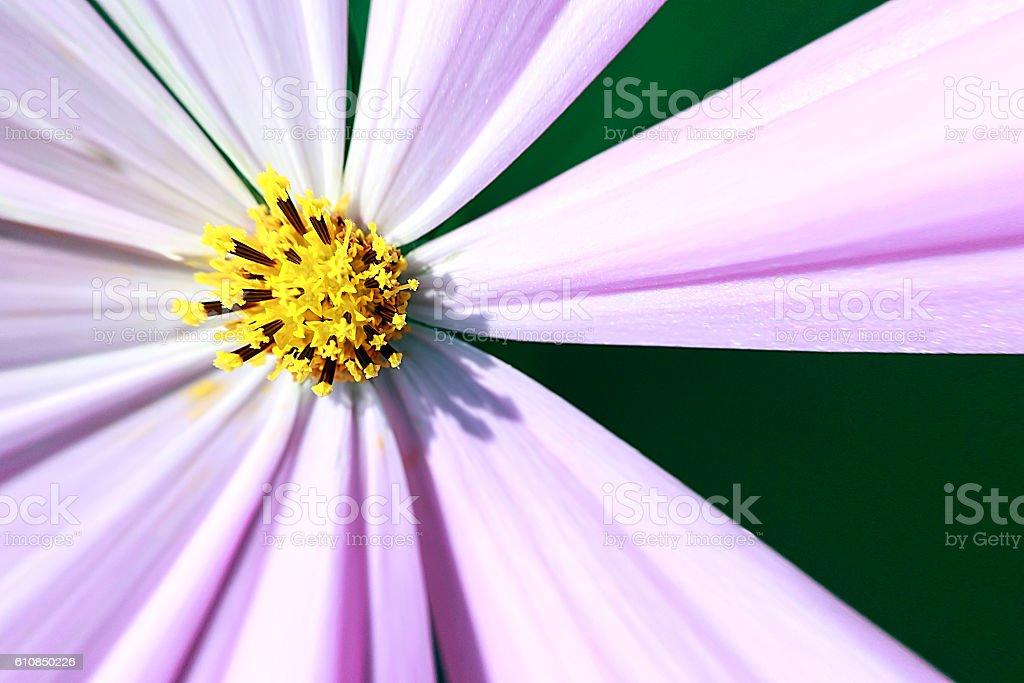 Stamen of Cosmos Flower stock photo