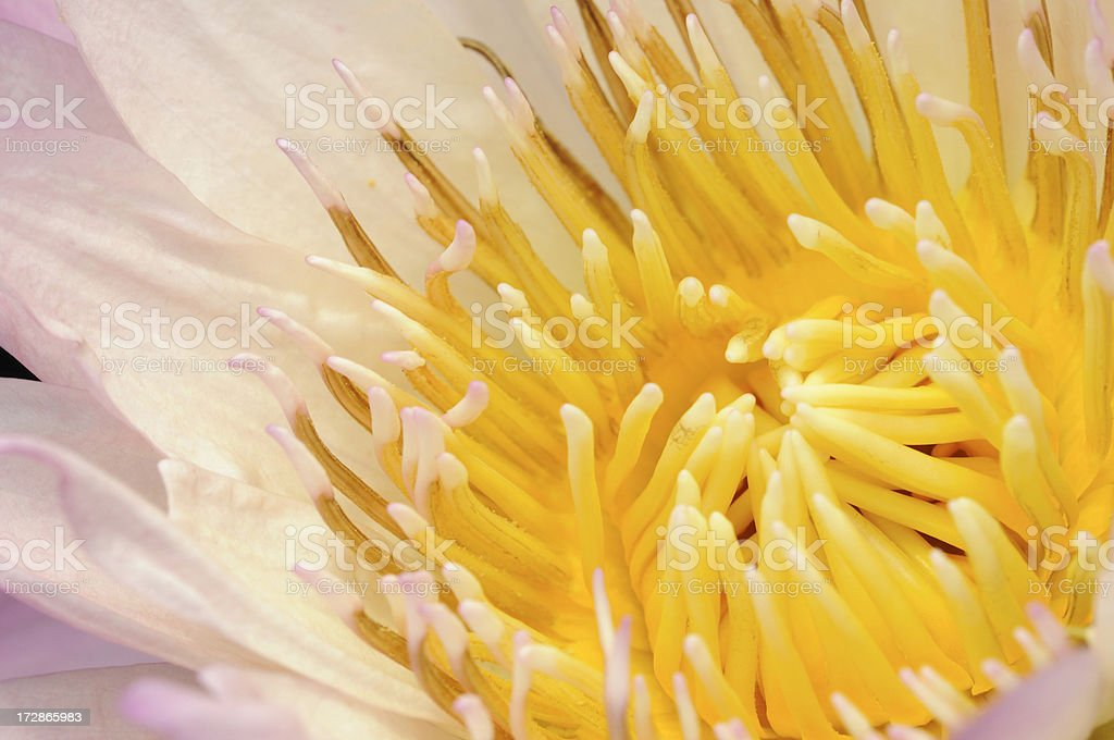 Stamen of Pink Water Lily royalty-free stock photo