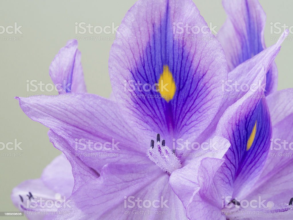 Stamen of the water hyacinth royalty-free stock photo