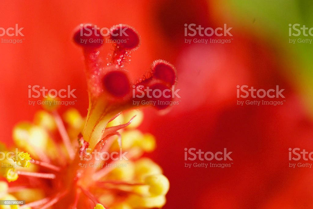 Stamens and Pistal stock photo