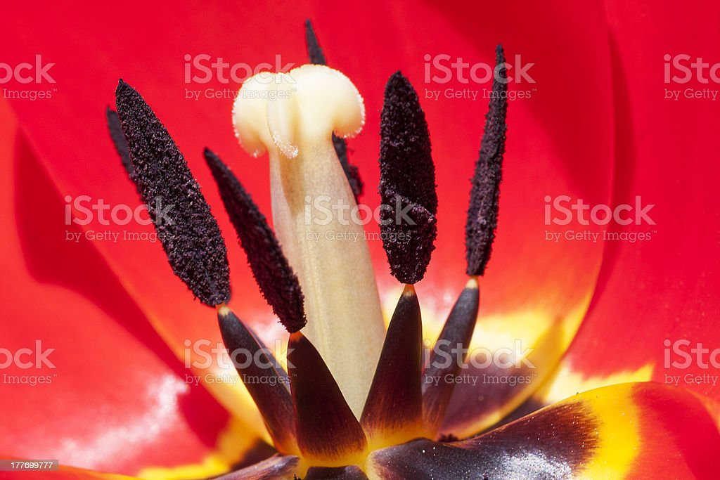Stami e pistillo di tulipano royalty-free stock photo