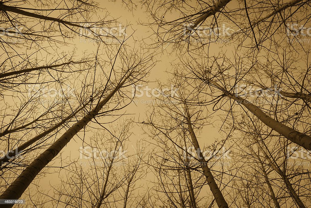 stand of aspen trees looking up royalty-free stock photo