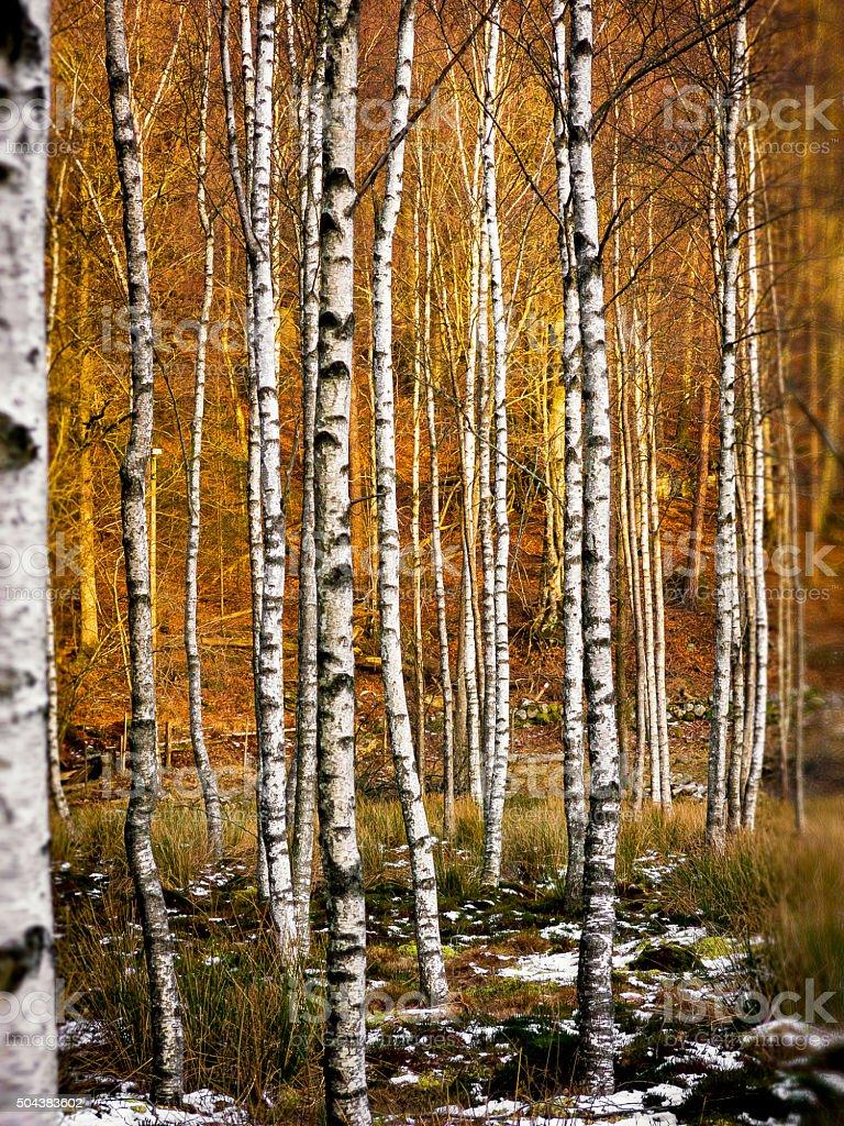 Stand of autumn Birch trees stock photo
