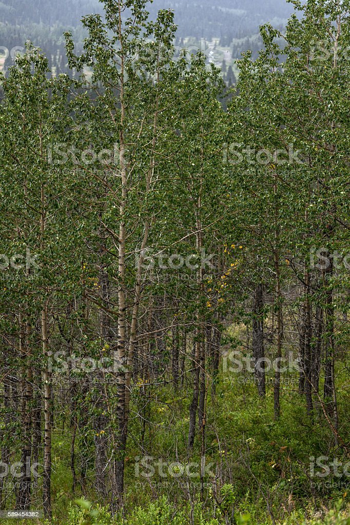 Stand of Birch Trees royalty-free stock photo