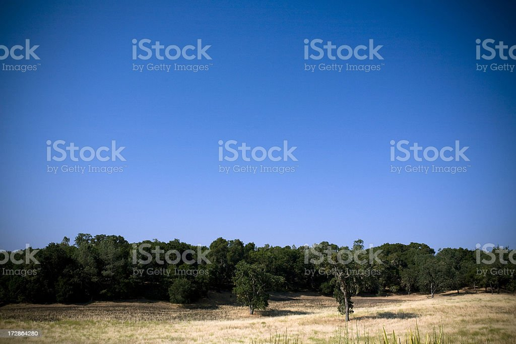 Stand of California Live Oaks on a Sunny Day stock photo