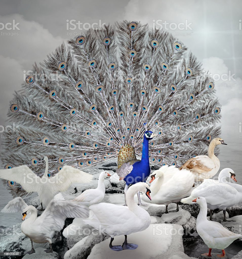 Stand out of the crowd - The blue peacock stock photo