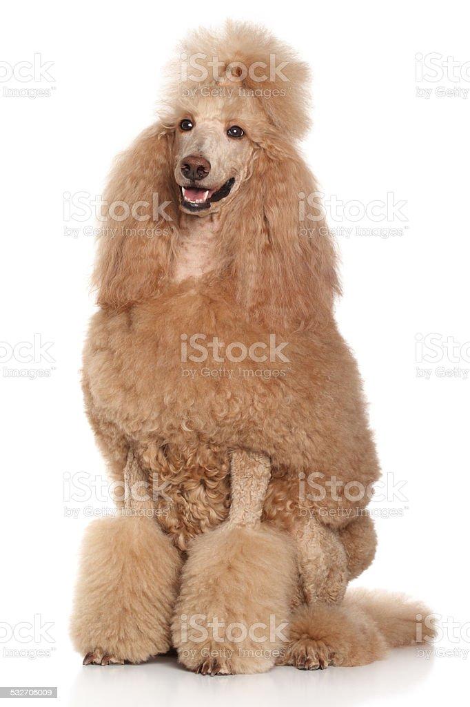 Standard Apricot Poodle portrait stock photo