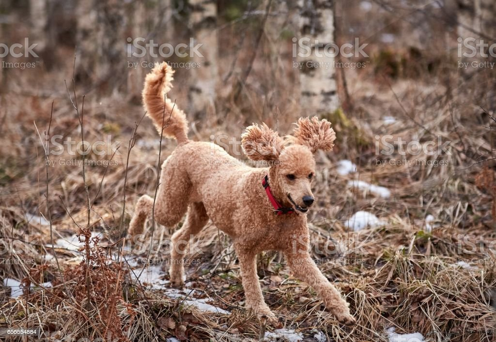 Standard poodle running on icy forest path in springtime stock photo