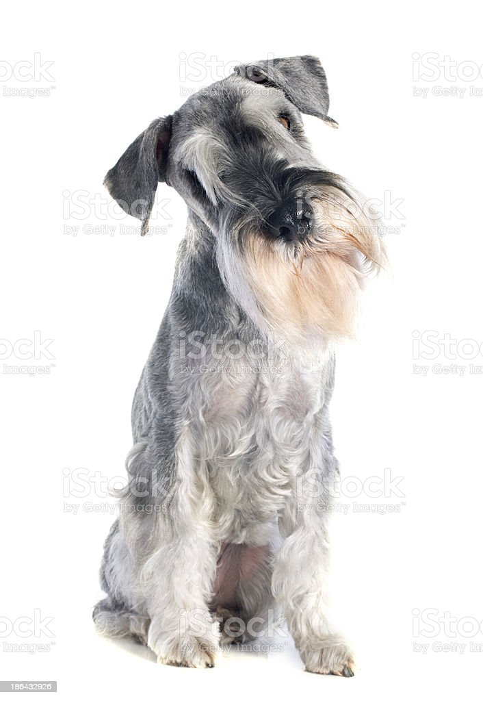 standard schnauzer stock photo