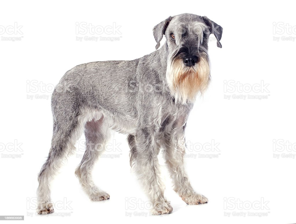 standard schnauzer royalty-free stock photo
