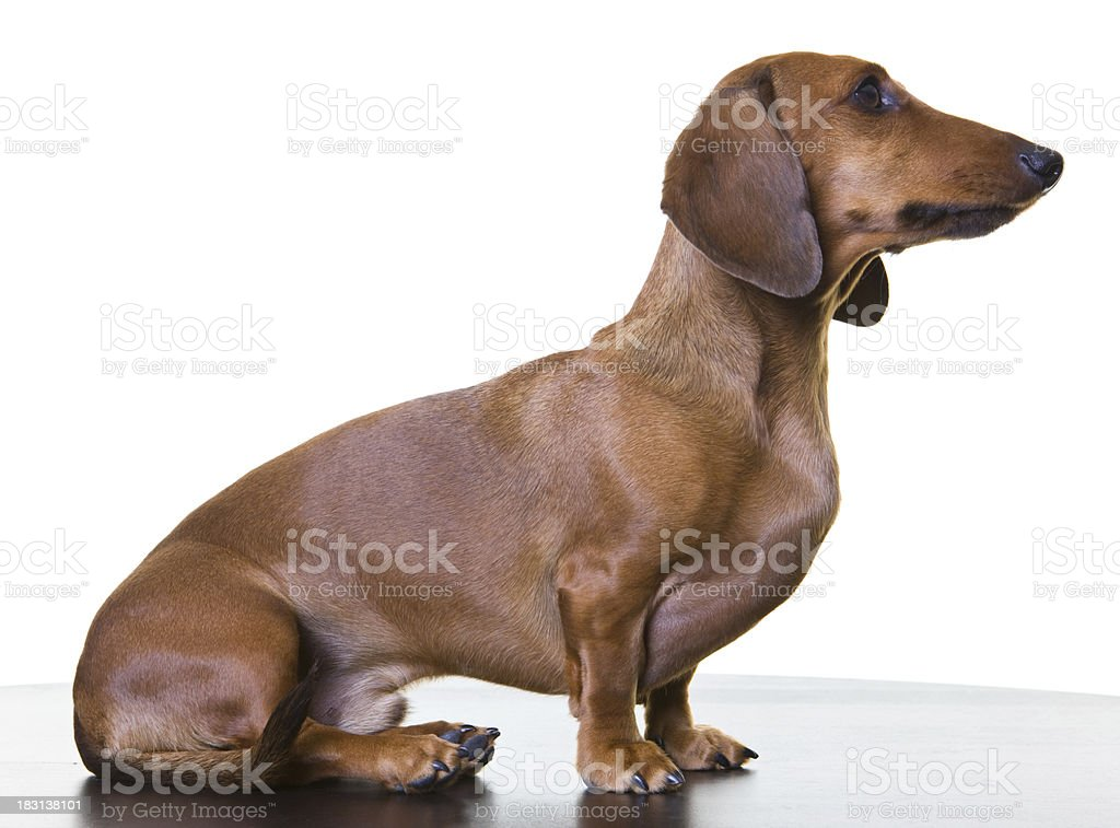 Standard Smooth Dachshund royalty-free stock photo