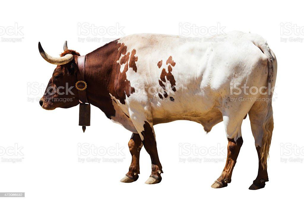 Standing adult bull. Isolated over white stock photo